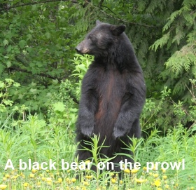 a black bear came calling